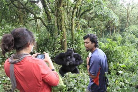 Tourists take pictures of a mountain gorilla in Virunga national park in the Democratic Republic of Congo, near the border town of Bunagana October 21, 2012. REUTERS/James Akena