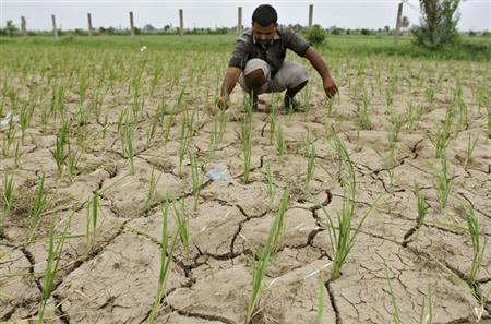 A farmer removes dried plants from his parched paddy field at Narimanpura village, on the outskirts of Ahmedabad July 30, 2012. REUTERS/Amit Dave/Files