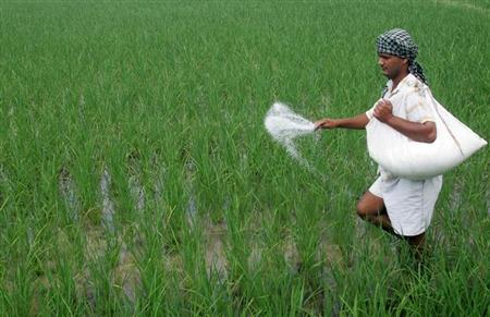 A farmer spreads fertilizers on his rice plants in Patra village in the northern Indian state of Punjab August 4, 2007. REUTERS/Ajay Verma/Files