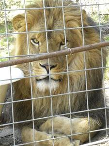 Cous Cous the lion is shown inside its enclosure at the Cat Haven Sanctuary in Dunlap, California, in this undated photo released to Reuters March 7, 2013. REUTERS/Aimee Zundell/Handout