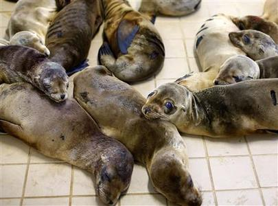 Rescued California sea lion pups are seen at the Pacific Marine Mammal Center in Laguna Beach, California, March 13, 2013. REUTERS/Mike Blake