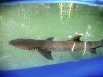 A whitetip shark is seen in this undated handout photo provided by the the People for the Ethical Treatment of Animals (PETA). REUTERS/PETA/Handout