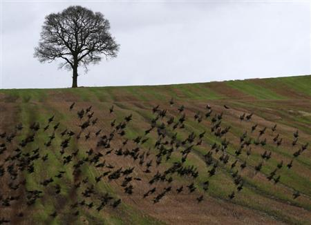 Birds fly across a field on the planned location of new HS2 high speed rail link as it passes Polesworth, central England, January 28, 2013. REUTERS/Darren Staples