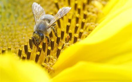 A bee collects nectar from a sunflower on a field near the northern Swiss town Leibstadt July 9, 2012. REUTERS/Arnd Wiegmann