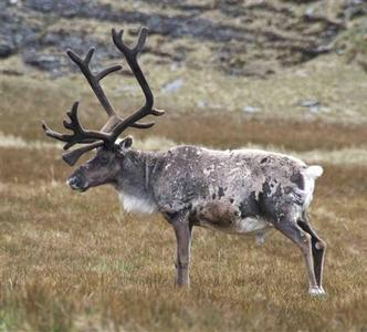 A male reindeer is seen on the South Georgia islands in an undated photo. REUTERS/Martin Collins/handout