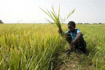 A youth called Alioun uses a sickle to cut weeds in a rice field on the outskirts of Richard Toll town June 3, 2008. REUTERS/Normand Blouin/Files