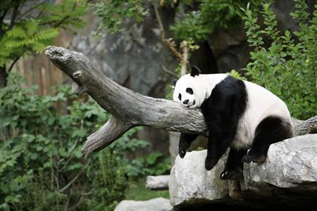 Giant panda Mei Xiang enjoys her afternoon nap at the National Zoo in Washington in this August 23, 2007 file photo. REUTERS/Kevin Lamarque/Files