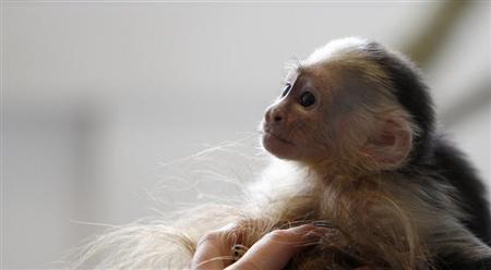 Mally, the pet monkey of Canadian singer Justin Bieber, is seen at a home for animals in Munich April 2, 2013. REUTERS/Michaela Rehle