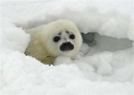 A ringed seal pup peeks out from its protective snow cave near Kotzebue, Alaska in this handout photo dated May 1, 2011. REUTERS/Michael Cameron/NOAA's Alaska Fisheries Science Center/Files