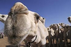 Un nouveau chameau va être offert par les autorités maliennes à François Hollande pour remplacer celui qui avait fini à la casserole après avoir été donné en cadeau au président français lors de sa visite à Bamako en février dernier. /Photo d'archives/REUTERS/Mohamed Alhwaity