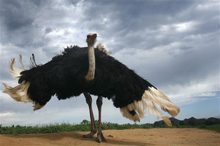 An ostrich fluffs up at an ostrich farm outside Oudtshoorn, some 450 kilometres (279 miles) east of Cape Town. Picture taken December 31, 2007. REUTERS/Alex Grimm
