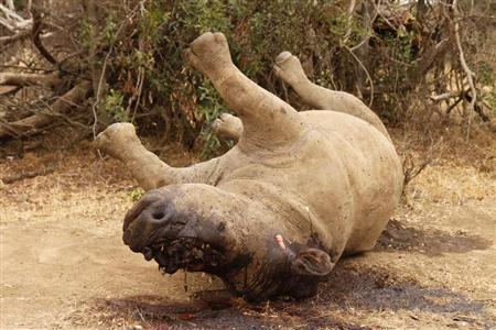 The carcass of a rhino is seen after it was killed for its horn by poachers at the Kruger national park in Mpumalanga province September 14, 2011. REUTERS/Ilya Kachaev/Files