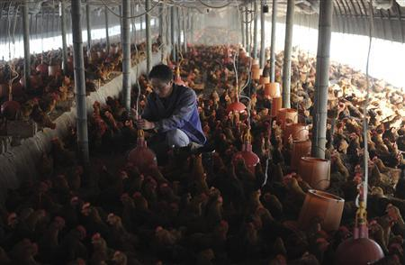 A worker adjusts a water dispensing device at a chicken farm in Changfeng county, Anhui province, April 14, 2013. REUTERS/Stringer