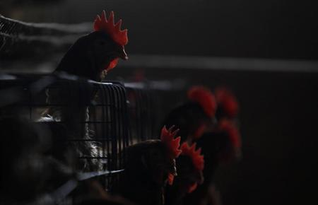 Chickens are seen at a poultry farm on the outskirts of Shanghai April 16, 2013. REUTERS/Aly Song