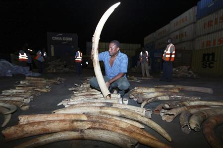 A worker arranges elephant tusks recovered from a container on transit, at the Kenyan port city of Mombasa January 15, 2013. REUTERS/Joseph Okanga