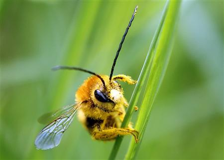 A bee is covered with pollen as it sits on a blade of grass on a lawn in Klosterneuburg April 29, 2013. REUTERS/Heinz-Peter Bader