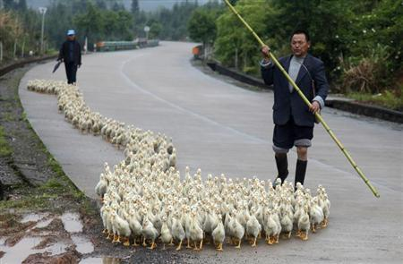 A breeder, whose business has been affected by the H7N9 bird flu virus, walks his ducks along a road in Changzhou county, Shandong province, April 24, 2013. REUTERS/Stringer
