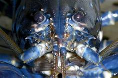 A European lobster (Hommarus gammarus) is pictured in a breeding station at the Alfred-Wegener institute (AWI) on the German island of Heligoland, about 46 kilometres away from the German coastline, April 30, 2013. REUTERS/Fabian Bimmer