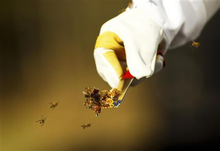 Jeff Nice carries a small piece of honeycomb as honey bees swarm on his farm in Kinston, North Carolina in this December 14, 2012 file photo. REUTERS/Chris Keane/Files