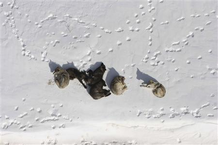A wolf pack is pictured bedded down in the snow in Yellowstone National Park in this March 2007 photograph obtained on May 4, 2011. REUTERS/Doug Smith/National Park Service/Handout