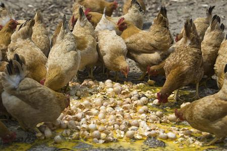 Chickens are fed with unsaleable eggs at a farm in Hangzhou, Zhejiang province, April 17, 2013. REUTERS/Chance Chan