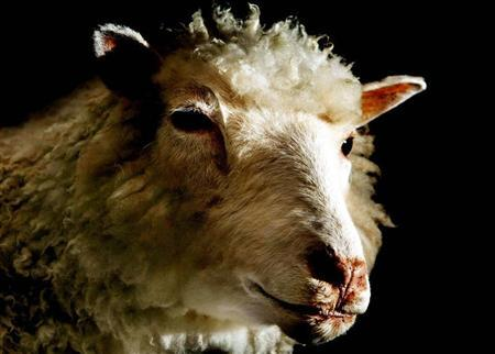 Dolly the sheep - the world's first mammal cloned from an adult cell - is seen on display at the National Museum of Scotland in Edinburgh, April 9, 2003. REUTERS/Jeff J Mitchell