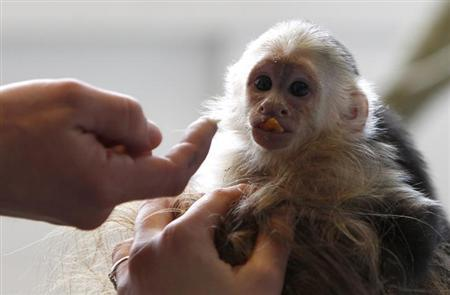 Mally, the pet monkey of Canadian singer Justin Bieber, is seen at a home for animals in Munich April 2, 2013. REUTERS/Michaela Rehle/Files