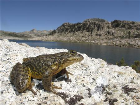 A Sierra Nevada yellow-legged frog (Rana sierrae) scans the landscape in Yosemite National Park, California, in this photo courtesy of United States Geological Survey released May 22, 2013. USGS/Handout via Reuters