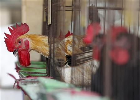 Chickens sit inside cages after a New Taipei City Department of Environmental Protection worker sprayed sterilising anti-H7N9 virus disinfectant around chicken stalls in a market in New Taipei City April 8, 2013. REUTERS/Pichi Chuang