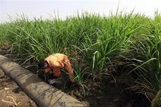 La variedad de plantas cultivadas y razas de ganado está disminuyendo a un ritmo acelerado, amenazando el suministro de alimentos en el futuro para la creciente población mundial, dijo el lunes el jefe de un nuevo equipo de Naciones Unidas sobre biodiversidad. En la imagen, de 14 de mayo, un trabajador riega su plantaci'on en Sudán. REUTERS/Mohamed Nureldin Abdallah