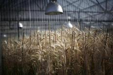 Пшеница растет в теплице в Университете Небраски в Линкольне 5 мая 2008 года. Американские чиновники в четверг бросились сдерживать распространившуюся по земному шару панику из-за первого в истории обнаружения неодобренного регуляторами сорта генетически-модифицированной пшеницы вне испытательных полей. REUTERS/Carlos Barria