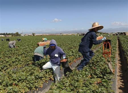 Field workers pick strawberries in Oxnard, California, April 16, 2013. In California, laborers from Mexico and Central America help make it the No. 1 farm state, with over $43 billion in cash receipts in 2011. REUTERS/Gus Ruelas