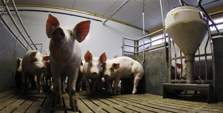 Pigs stay in their box beside a food dispenser (R) at a pig farm in Bockel between Bremen and Hamburg January 14, 2011. REUTERS/Christian Charisius