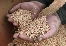 La production mondiale de céréales devrait augmenter de 6,5% en 2013/2014 pour atteindre un record de 2,46 milliards de tonnes, principalement grâce à la croissance de la production de blé et au rebond de celle du maïs aux Etats-Unis. /Photo prise le 6 juin 2013/REUTERS/Ilya Naymushin