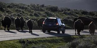 A car is stopped by a herd of bison crossing the highway in Yellowstone National Park, Wyoming, June 8, 2013. REUTERS/Jim Urquhart