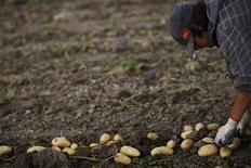 Jorge Ibanez colhe batatas na região de Cartagena, em Múrcia, na Espanha. Negociadores da União Europeia concordaram nesta quarta-feira em realizar uma ampla reforma da Política Agrícola Comum (PAC), estabelecendo normas que envolvem 50 bilhões de euros em subsídios agrícolas no orçamento plurianual para 2014-2020. 07/06/2013 REUTERS/Susana Vera