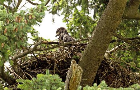 A Bald Eagle juvenile is pictured on its nest at Heritage Park, Kirkland Washington in this photograph taken June 21, 2013 and released to Reuters June 27, 2013. REUTERS/Mick Thompson/Handout
