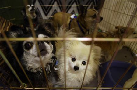 Dogs that were evacuated from the Yarnell Hill Fire with their owner sit in their cage at Yavapai College evacuation center in Prescott, Arizona July 2, 2013. REUTERS/Joshua Lott