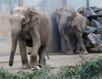 Baby et Népal, les deux éléphantes du zoo du parc de la Tête d'Or soupçonnées d'être porteuses de la tuberculose, ont quitté Lyon jeudi à destination de la propriété de la famille princière de Monaco à Roc Agen (Alpes-Maritimes). /Photo prise le 6 janvier 2013/REUTERS/Robert Pratta