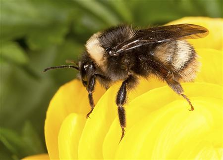 The western bumble bee, Bombus occidentalis, is seen in this undated U.S. Department of Agriculture photo. REUTERS/Stephen Ausmus/USDA/Handout via Reuters