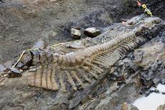 """Un groupe de paléontologues a découvert au Mexique, dans l'Etat de Coahuila, frontalier avec les Etats-Unis, les restes fossilisés d'une queue de dinosaure longue de cinq mètres et vieille de 72 millions d'années. Les 50 vertèbres découvertes composaient probablement la moitié du corps du dinosaure, qui appartenait à la famille des hadrosauridés, surnommés les """"becs de canards"""". /Photo diffusée le 22 juillet 2013/REUTERS/Institut national d'anthropologie et d'histoire"""
