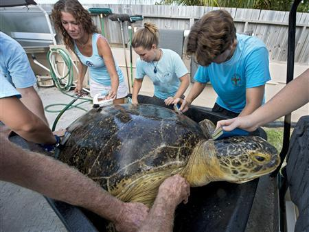 Staff at the Florida Keys-based Turtle Hospital scrub down OD, a 320-pound green sea turtle, to remove algae in Marathon, Florida, July 24, 2013 in this handout provided by the Florida Keys News Bureau. REUTERS/Andy Newman/Florida Keys News Bureau/Handout via Reuters