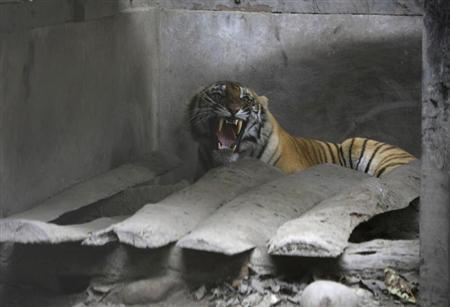 A wild tiger is seen inside the enclosure at Chitwan National Park after it was wounded in a fight with another tiger in Chitwan, about 170 km (106 miles) south of Kathmandu December 27, 2011. REUTERS/Navesh Chitrakar