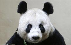 Tian Tian, a female giant panda sits in her enclosure at Edinburgh zoo in Scotland in an April 4, 2012 file photo. REUTERS/David Moir/files