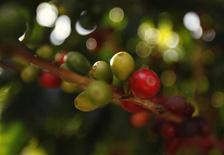 Dans une plantation de caféiers et de cacaoyers de Dole Food à Hawaii. Le producteur américain de fruits et de légumes Dole Food a accepté une offre de rachat de son PDG David Murdock, qui souhaite retirer le groupe de la cote. /Photo d'archives/REUTERS/Yuriko Nakao