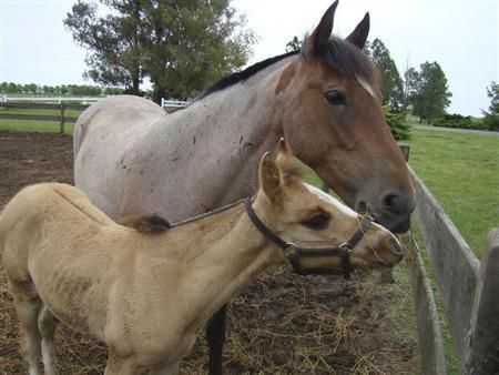 Cloned horse BS Nandubay Bicentenario and its mother Perdida Puestera (rear), are shown at a Buenos Aires' farm October 10, 2010. REUTERS/Handout/Bio Sidus
