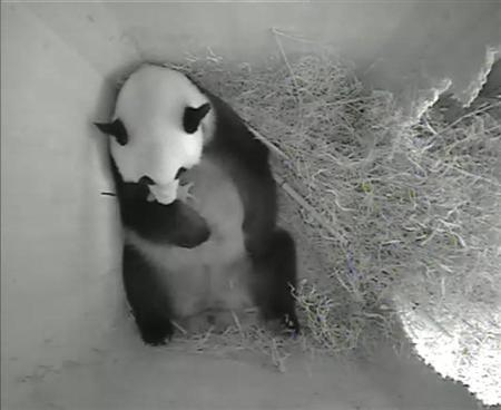 A still image from a monitoring camera shows giant panda mother Yang Yang holding her newborn cub inside a birth box at Schoenbrunn zoo in Vienna, August 15, 2013. REUTERS/Tiergarten Schoenbrunn/Handout via REUTERS