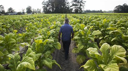 Lester ''Buddy'' Stroud, a farm hand at Shelley Farms, walks through a field of tobacco ready to be harvested in the Pleasant View community of Horry County, South Carolina July 26, 2013. REUTERS/Randall Hill