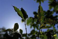 Hojas de una planta de café afectadas por un hongo conocido como roya. 10 de enero, 2013. Dos tercios de las plantaciones de café de Costa Rica están infectadas con el hongo de la roya, y la producción de la próxima cosecha será peor de lo esperado, dijo el viernes un funcionario de alto nivel del instituto cafetero ICAFE. REUTERS/Ulises Rodriguez (EL SALVADOR - AGRICULTURA NEGOCIOS)