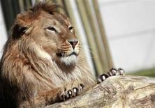 Un Koweïtien a capturé un lion qui errait dans les rues d'une banlieue commerçante de Koweït City en l'attirant à bord de sa voiture avant d'appeler la police à la rescousse. /Photo prise le 17 avril 2013/REUTERS/Dado Ruvic